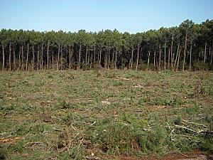 La déforestation est l'un des conséquences majeures de la culture intensive des palmiers. DR