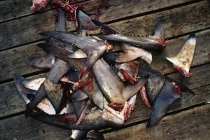 Ailerons de requins. DR