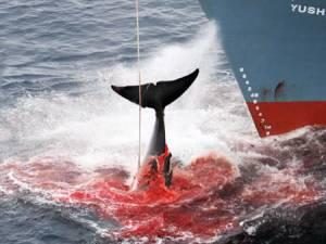 Un navire japonais essaie de tirer hors de l'eau une baleine. DR