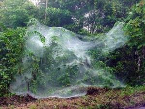 Réfugiées en masse dans les champs australiens, les araignées y tissent des toiles rendant le paysage fantomatique. DR