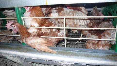 Les conditions de vie des poules pondeuses en France. Crédit photo : L214 - Éthique & animaux