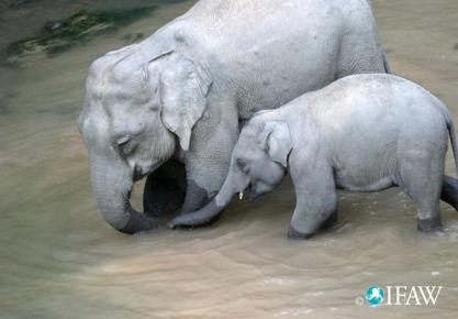 En 2010, on estime que 2 à 5 éléphants ont été tués par semaine, uniquement pour alimenter le marché européen de l'ivoire. Crédit photo : IFAW