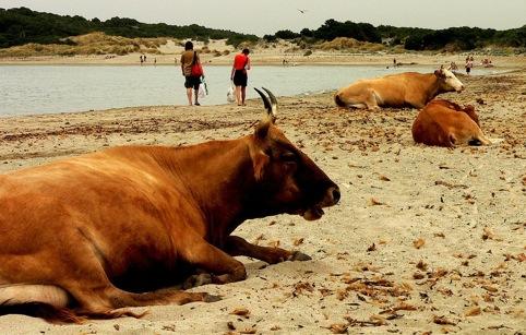 Ces vaches corses montrent une nette préférence pour un lieu de couchage meuble et confortable, la majorité de leur congénères ne dispose pas d'un tel confort. Crédit photo : http://www.flickr.com/people/luiginter