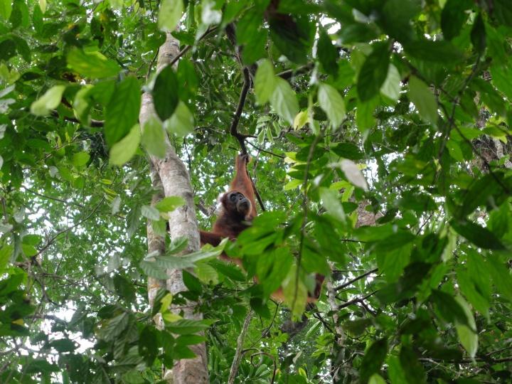 Les orang-outans disparaissent progressivement des forêts indonésiennes – Crédit photo : Joffrey Lapilus