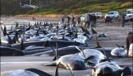 En janvier 2012, une centaine de cétacés se sont échoués sur les plages de Nouvelle Zélande. D