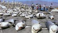 Résultat d'une tournée de pêche aux requins. DR